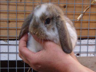 dværgvædder kanin til salg